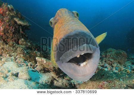 Titan Triggerfish fish underwater portrait