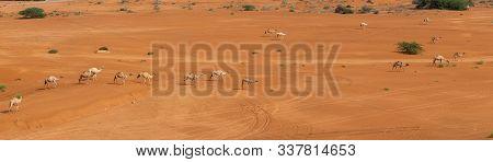 Panorama Of A Group Of Dromedary Camels (camelus Dromedarius) Walking Acorss The Desert Sand In The