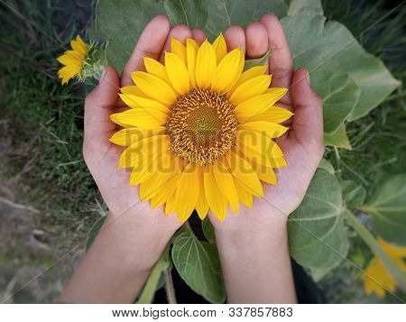 Flower In Hand Closeup. Big Sunflower Blossom In Open Hand. Yellow Flower In Young Girl Hand On Top