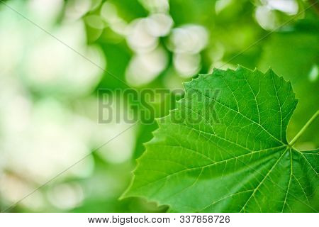 Grape Leaves In Vineyard. Green Vine Leaves At Sunny September Day. Soon Autumn Harvest Of Grapes Fo