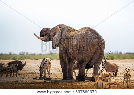 African Elephant Drinks Water At A Waterhole In Etosha National Park, Namibia, Surrounded By Other A