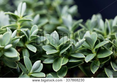 Leaves Of A Shrubby Veronica, Hebe Topiaria