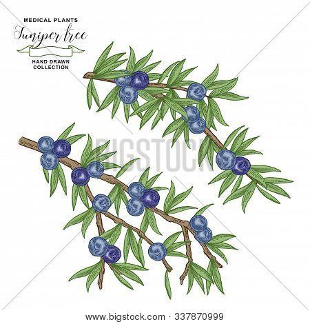 Juniper Tree Branch. Colorful Berries Ans Leaves Of Juniper. Hand Drawn Medicall Plants. Vector Illu