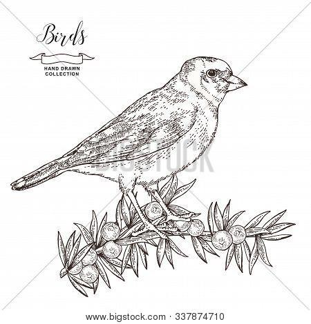 Hand Drawn Bird Finch. Goldfinch Sitting On A Juniper Branch. Vector Illustration. Vintage Engraving