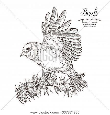 Hand Drawn Bird Finch. Flying Goldfinch And Juniper Branch. Vector Illustration. Vintage Engraving.