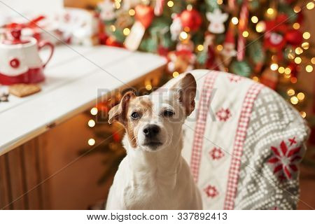 Merry Christmas. Dog Jack Russell Terrier In House Decorated With Christmas Tree And Gifts Wishes Ha