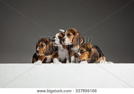 Beagle tricolor puppies are posing. Cute white-braun-black doggies or pets playing on grey background. Look attented and playful. Studio photoshot. Concept of motion, movement, action. Negative space. poster