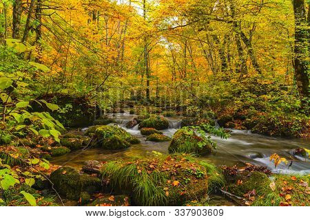 Flow Of Oirase River In Autumn Season With The Colorful Falling Leaves On The Green Mossy Rocks At O