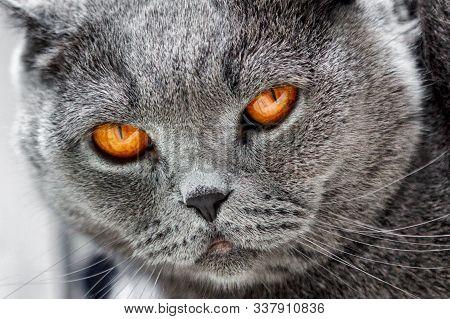 Cat Lilac Coloured Adult Scottish Fold Orange Eyes And Forward-folded Ears