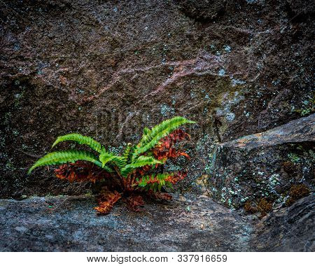 Very Green Vibrant Fern Growing On A Rock Illustrating The Concept Of Resilience And Conquering Adve