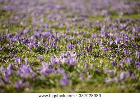 Purple Crocus Flowers Meadow Scene. Crocus Meadow Flowers. Purple Crocus Flowers. Purple Crocus Flow