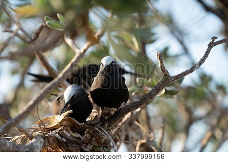 Nesting White Capped Noddy Pair With Gift Of Yellow Leaf On Lady Elliot On Great Barrier Reef, Queen