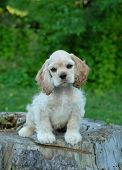 ten week old american cocker spaniel puppy sitting on tree stump - champion bloodlines poster