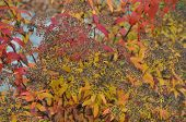 wilted flower heads of a japanese meadowsweet, spiraea japonica, with coloful leaves in autumn poster