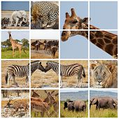 african safari collages poster