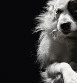 portrait of lonely dog on a dark background poster