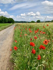 Wild Poppies In A Field. Bright Red Wild Poppies In Full Bloom Along Footpath.