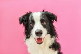 Funny Studio Portrait Of Cute Smilling Puppy Dog Border Collie Isolated On Pink Background. New Love