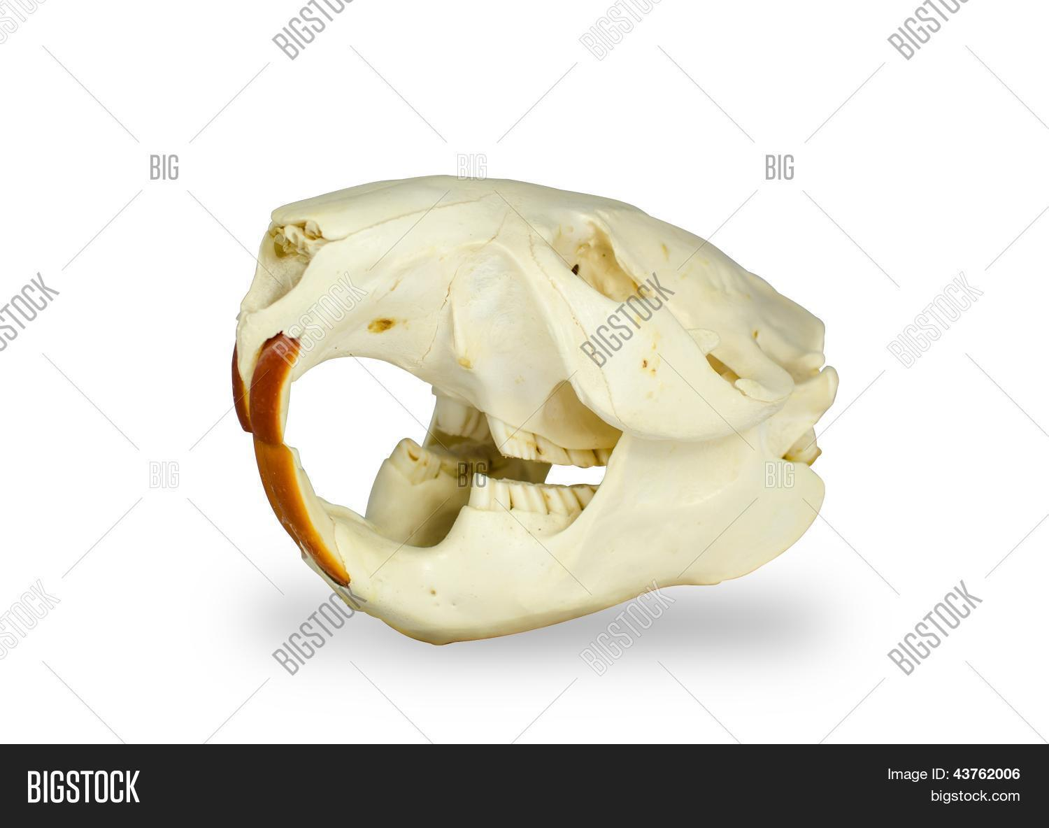 Beaver Skull Image & Photo (Free Trial) | Bigstock