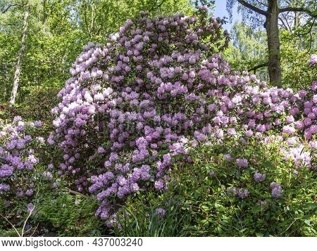 Purple Rhododendron Tree Flowering In A Wood