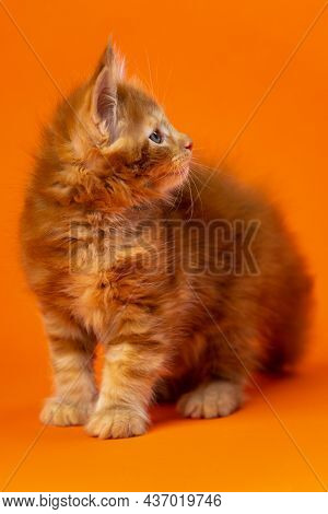 Portrait Of Male Altered Kitten Of Maine Coon Cat Breed Of Color Red Classic Tabby Standing Looking