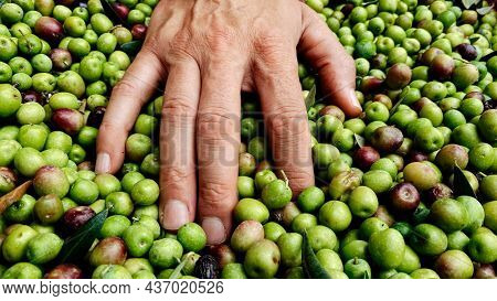 a young caucasian man heaps some olives freshly collected during the harvesting in an olive grove in Catalonia, Spain