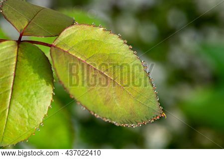 Background From Texture Of Green Rose Leaves With Dew Drops Closeup