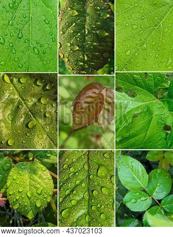 Set Of Green Rose Leaves With Dew Drops Closeup