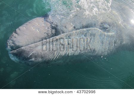 a gray whale exhales while surfacing in a sanctuary lagoon in Baja Mexico, blowing bubbles poster