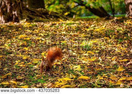 A squirrel looking for nuts in the autumnal park
