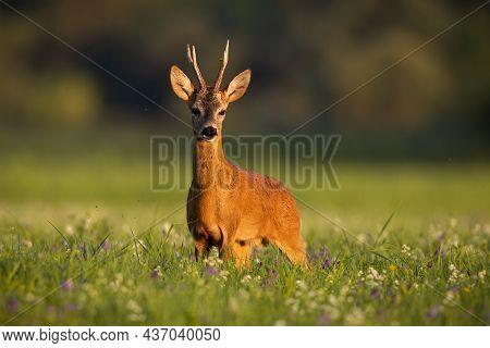 Roe Deer Looking On Meadow In Summertime Golden Hour