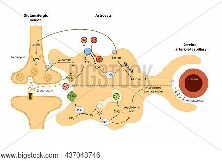 The Cerebral Circulation,relationship Of Astrocytes To Oxygen And Energy Metabolism, Neuron, Blood B
