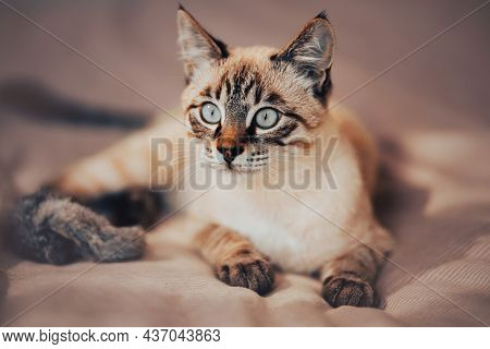 Cute Tabby Thai Kitten Is Lying On A Soft Bed With A Pink Striped Blanket Next To A Fluffy Toy. A Pe
