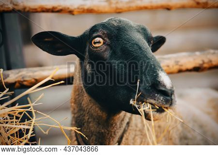 Portrait Of A Cute Sheep With Yellow Eyes, Who Is Happy To Eat Dry Hay In A Paddock On A Farm. Agric