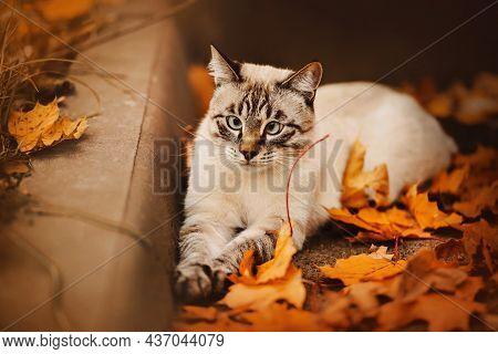 A Cute Tabby Thai Cat Lies On An Autumn Day Among Yellow Fallen Maple Leaves Near The Curb. Walking