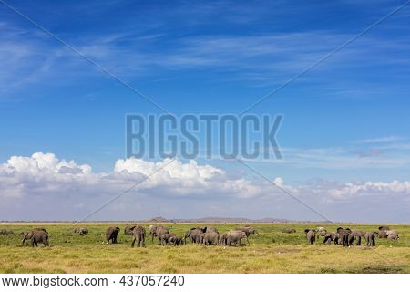 Large herd of African elephants, loxodonta africana, grazing in the mashlands of Amboseli National Park, Kenya.