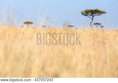 Low level shot of red-oat grass and acacia trees in the Masai Mara, Kenya. In early summer the grass is lsh and long before the herds of migratory animals arrive.