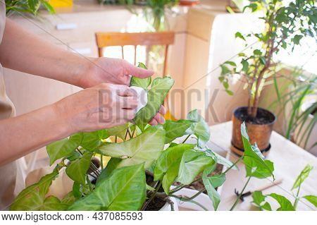 Home Gardening. Woman Wipes A Green Leaf, Cares For A Plant In A Pot. Senior Woman Caring For Indoor