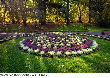 Gdansk, Poland - October 18, 2021: Blooming colorful cabbage in the Oliwa Park in autumn. Gdansk