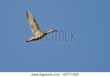 Female Northern-Pintail Flying Across A Blue Sky