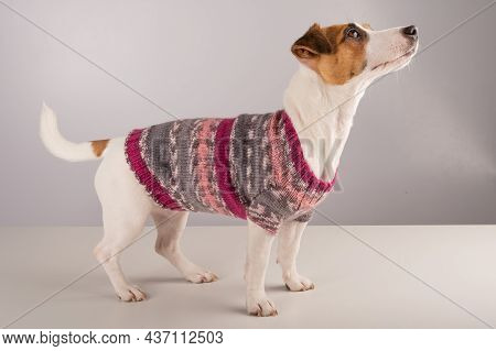 Jack Russell Terrier Dog In A Knitted Woolen Sweater On A White Background.