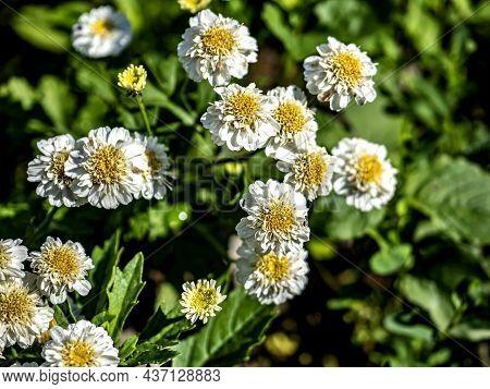 Bright Small White Flowers Resemble Daisies, Macro