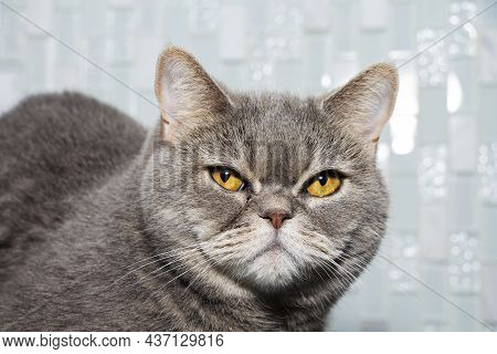 Close-up, Portrait Of A Brown Long-haired Adult Cat Looking Straight Ahead. Angry Look.