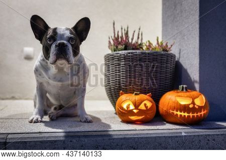 French Bulldog with the scary Halloween pumpkins as decoration on the front steps