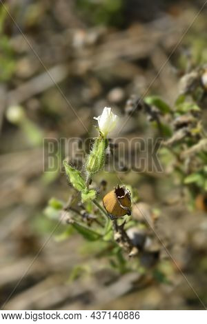 White Campion Flower And Seed Pod - Latin Name - Silene Latifolia Subsp. Alba