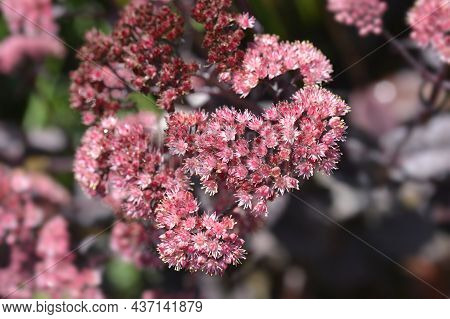 Orpine Purple Emperor Flowers - Latin Name - Hylotelephium Telephium Purple Emperor (sedum Telephium