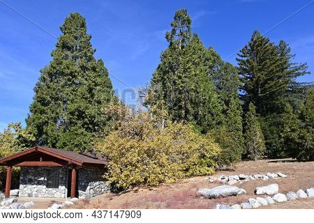 OAK GLEN, CALIFORNIA - 10 OCT 2021: Conifers of California area of the Wildlands Conservancy Oak Glen Preserve in the foothills of the San Bernardino Mountains.