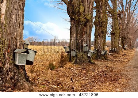 Line Of Maple Syrup Buckets
