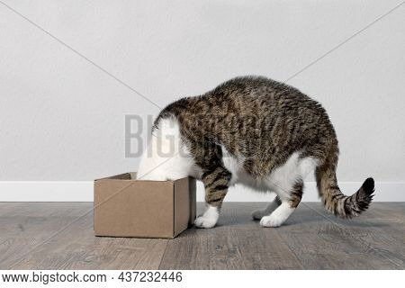Funny Tabby Cat Stuck His Head Inside A Small Cardboard Box.
