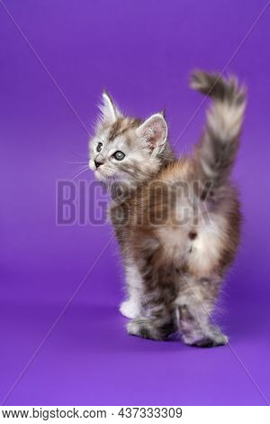 Pedigreed Maine Coon Cat Black Silver Patched Tabby Standing On Purple Background Back To Camera, Ra